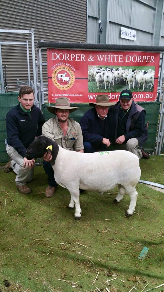 Bulmar Dorpers 130155, used in 2014 and top price ram at Bending. Sold for $5000 to Brendon Duncan 2015